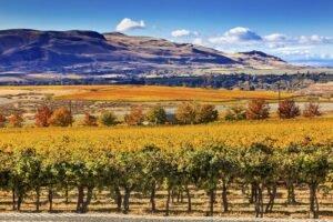 bigstock Yellow Leaves Vines Rows Grape 108524951